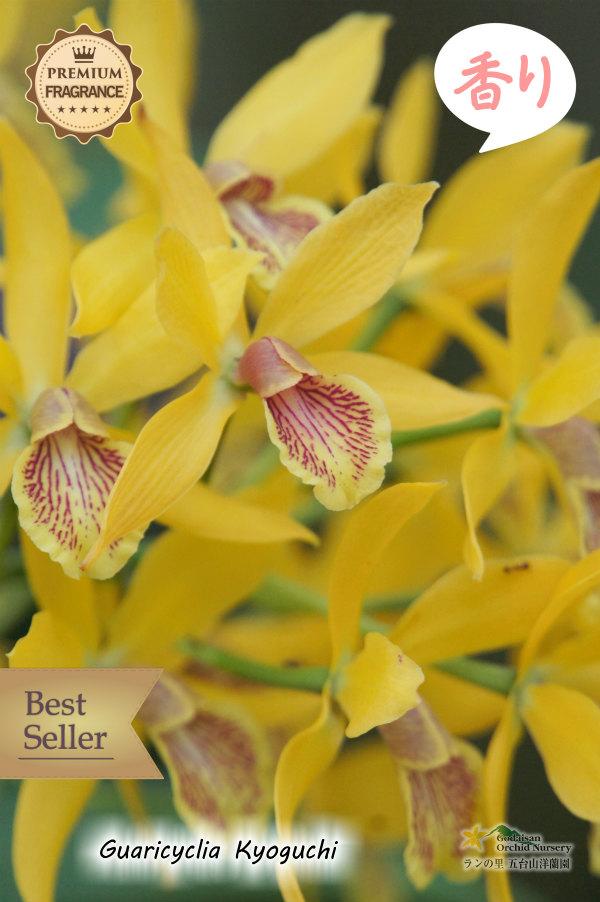 画像1: 【オリエンタルなムスクの香り】Guaricyclia Kyoguchi(交配種)グアリシクリア キョウグチ (1)
