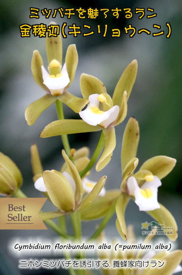 画像1: 【ミツバチを呼ぶ蘭】金稜辺・白花3号鉢(キンリョウヘン・アルバ)=Cym.floribundum alba(原種)シンビジューム フロリバンダム アルバ (1)