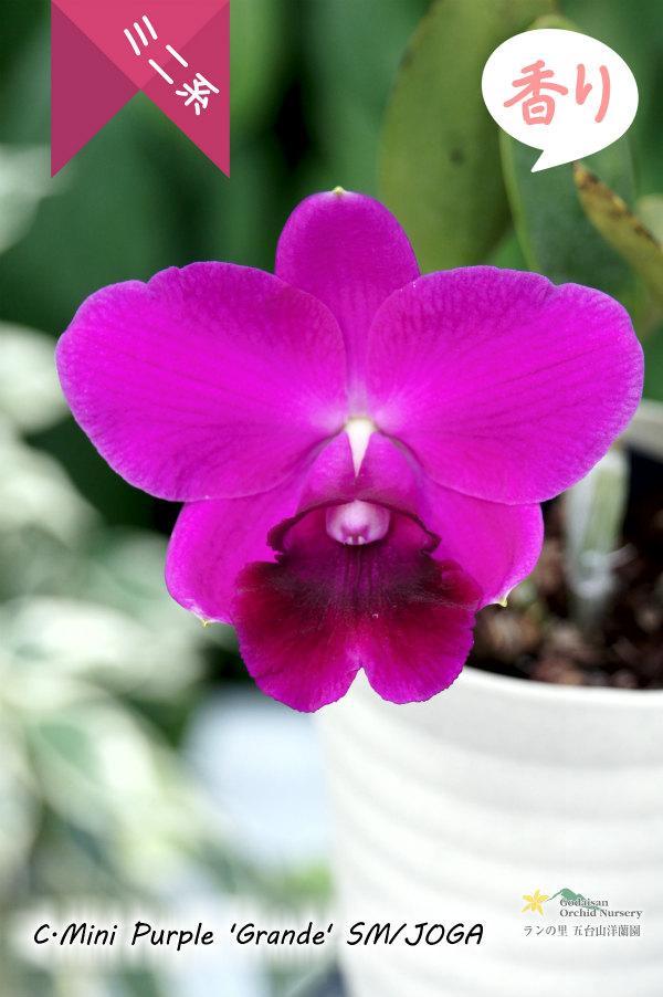 画像1: 【丸い濃色花】C[Lc].Mini Purple 'Grande'SM/JOGA(交配種)カトレア ミニパープル 'グランデ' (1)