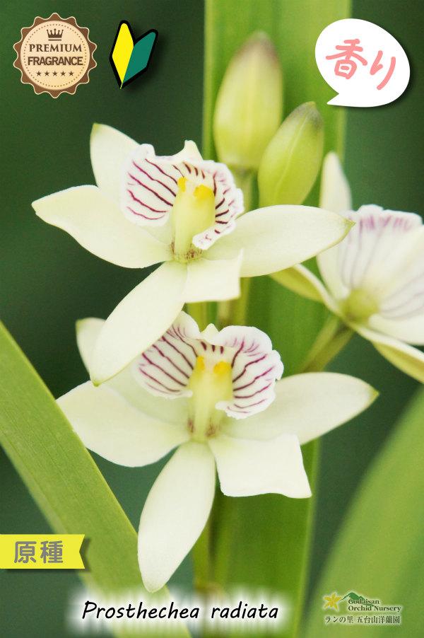 画像1: 【特徴的な強い香を楽しめるラン】Prosthechea radiata (原種)プロステケア ラディアタ (1)