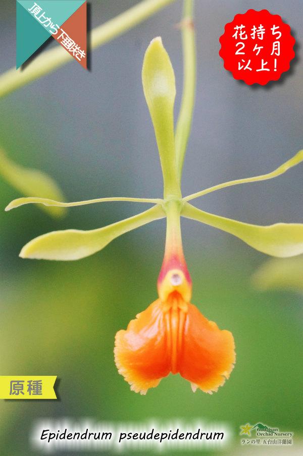 画像1: 【艶のあるロウ質な花が楚々としている原種】Epi.pseudepidendrum(原種)エピデンドラム シュードエピデンドラム (1)