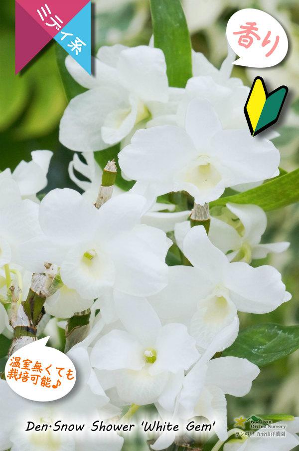 画像1: 【小振りな白花デンドロ】Den. Snow Shower 'White Gem' (交配種)デンドロビウム スノーシャワー'ホワイトジェム' (1)