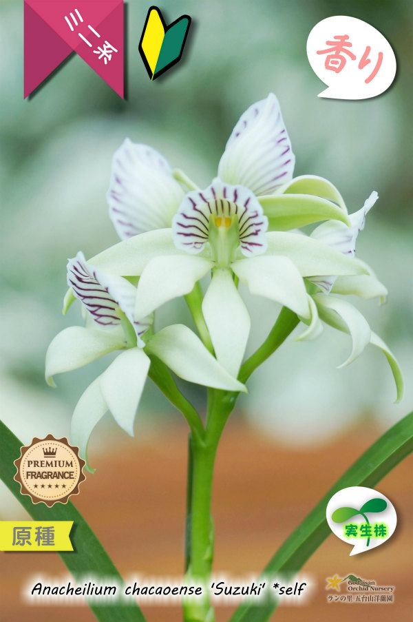 画像1: 【特徴的な強い香を楽しめるラン】Anacheilium chacaoense (原種)アナケイリウム チャカオエンス (1)