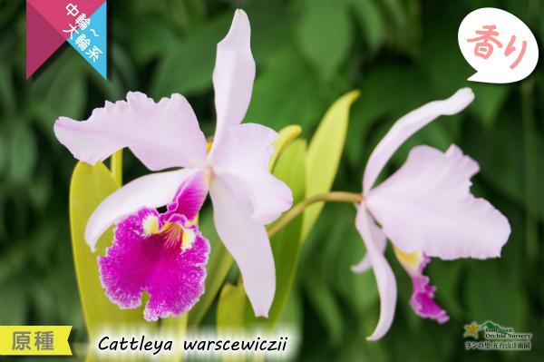 【カトレア原種】C.warscewiczii (原種)カトレア ワーセウィッチ 販売 通販 苗 香