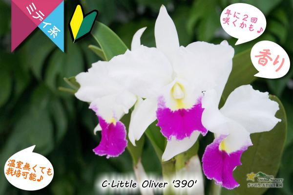 【春・夏の2回咲きカトレア】C.Little Oliver  '390' (交配種)カトレア リトルオリバー'390' 販売 通販 苗 香