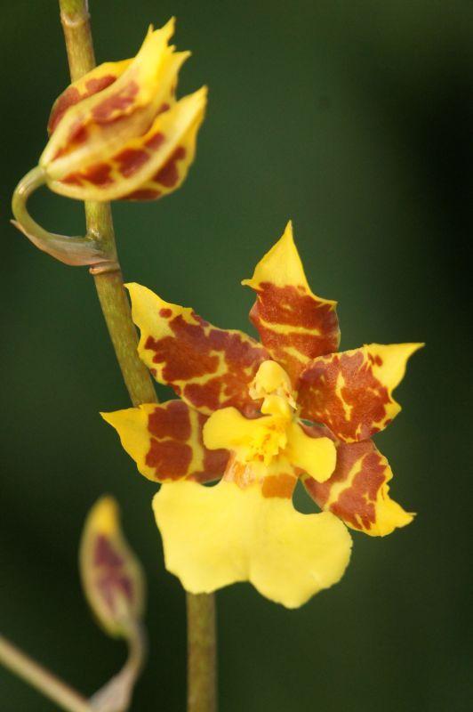 画像1: Onc.Golden Afternoon 'Rich Yellow' オンシジューム ゴールデンアフタヌーン'リッチイエロー' (次年度開花予定株) (1)