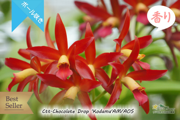 Cttlianthe Chocolate Drop 'Kodama' AM/AOS(交配種)カトレア カトリアンセ チョコレートドロップ 'コダマ' 販売 通販 苗 香
