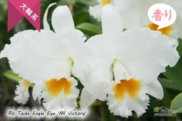 Rlc.Taida Eagle Eye 'All Victory'(交配種) タイダイーグルアイ'オールヴィクトリー' 株 苗 販売 カトレア
