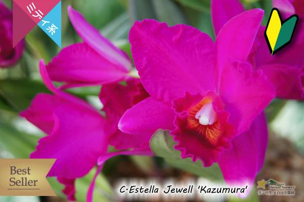 カトレア エステラジュエル カズムラ 赤 紫紅色