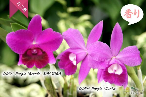 C[Lc].Mini Purple 'Grande'SM/JOGA(交配種)カトレア ミニパープル 'グランデ' ミニカトレア 販売 花 つぼみ 苗