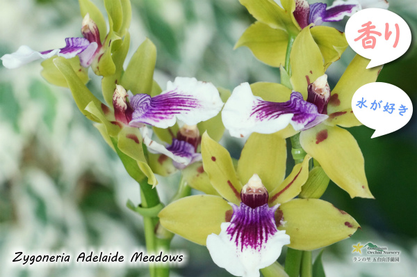 【香りを楽しむラン♪】Zygoneria Adelaide Meadows (交配種)ジゴネリア アデレードメドーズ ジゴペタラム 販売 価格 苗