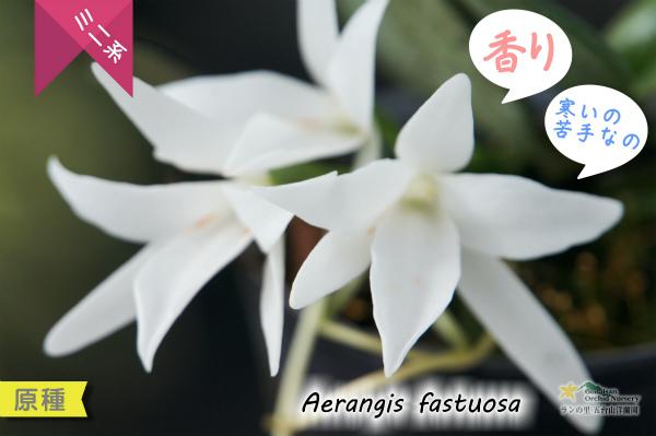 エランギス ファスツオーサ Aerangis fastuosa 香り 夜 マダガスカル 原種