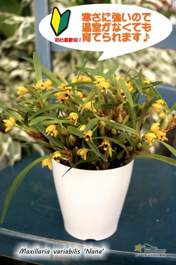 画像1: 【ミニ洋らん】Maxillaria variabilis 'Nana'  (原種)マキシラリア バリアビリス'ナナ'(次年度開花予定株) (1)