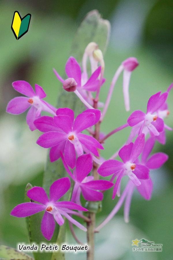 画像1: 【小型のバンダ】Vanda Petit Bouquet(交配種)バンダ プチブーケ (1)