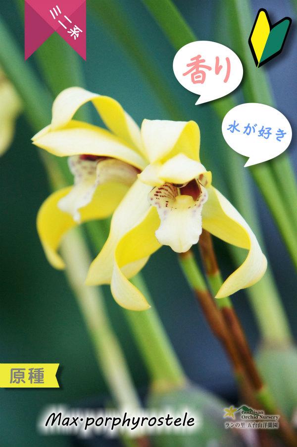 画像1: 【育てやすく香りを楽しむラン♪】Max.porphyrostele (原種)マキシラリア ポルフィロステレ (1)