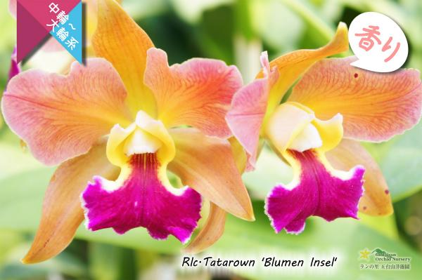 【リップが印象的な貴重な夏咲品種】Rlc.Tatarown'Blumen Insel'CR/HOS (交配種)タタロウン'ブルーメン インセル' 販売 通販 苗 香