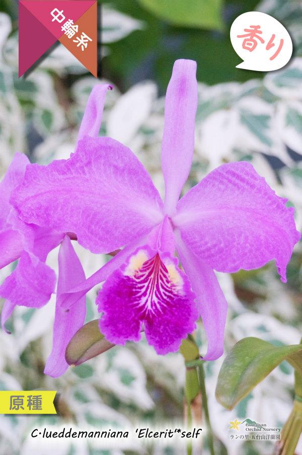 画像1: 【ベネズエラを代表する原種カトレア】C.lueddemanniana 'Elcerit'☓self (原種・実生)カトレア ルデマニアナ (1)