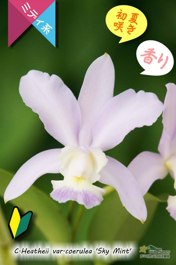 画像1: 【香りのあるソフトブルーカトレア】C.Heathii var.coerulea'Sky Mint' (交配種)ヒーシー バー セルレア'スカイミント' (1)