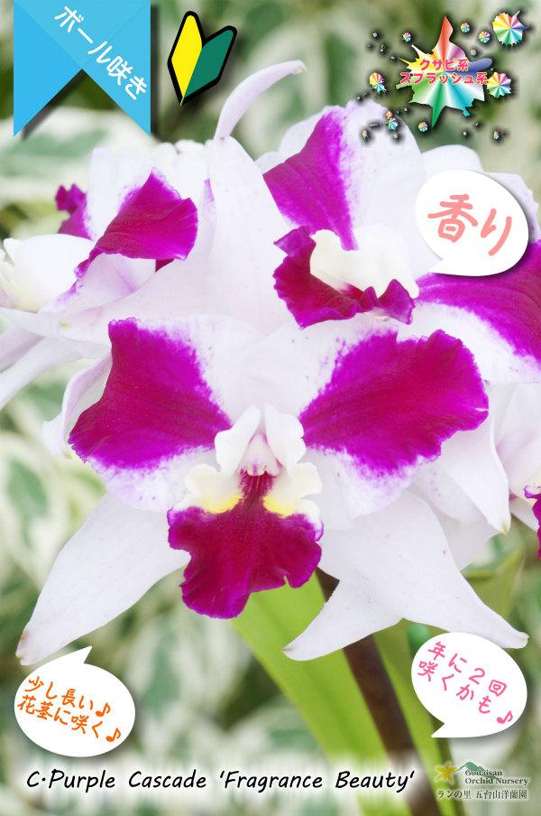 画像1: 【艶やかな紅白色のミディカトレア】C.Purple Cascade 'Fragrance Beauty' (交配種)カトレア パープルキャスケード'フレグランスビューティー' (1)