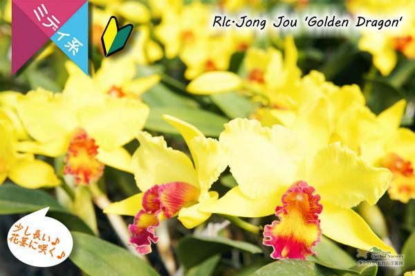 【黄色と赤色のコントラストが素敵なミディカトレア】Rlc.Jong Jou'Golden Dragon' (交配種)カトレア系 ジョンジュ'ゴールデンドラゴン'