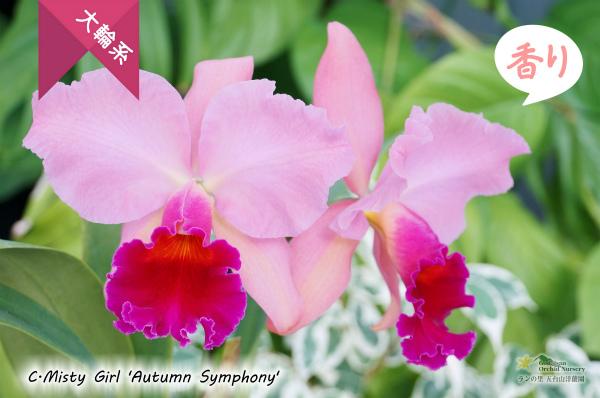 C.Misty Girl 'Autumn Symphony' (交配種)カトレア ミスティーガール'オータムシンフォニー'花 株 販売・通販