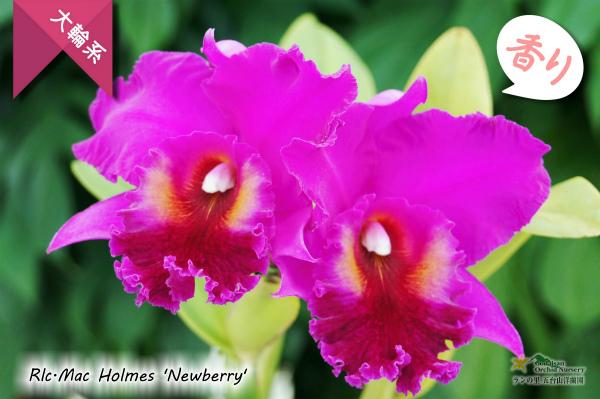 Rlc.Mac Holmes 'Newberry'AM/AOS (交配種)カトレア マック ホームズ'ニューベリー' 販売 通販 苗 香