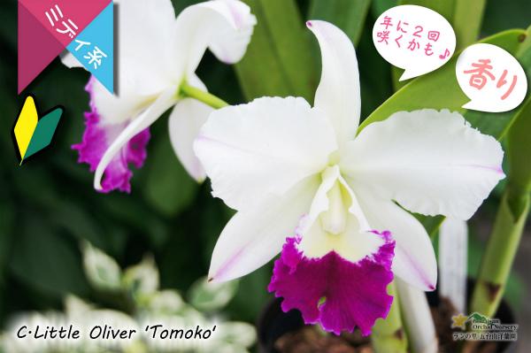 【春・夏の2回咲きカトレア】C.Little Oliver 'Tomoko' (交配種) カトレア リトルオリバー'トモコ' 販売 通販 苗 香
