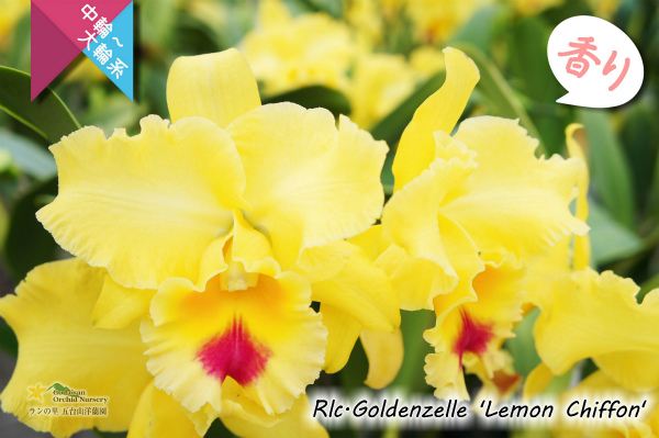 Rlc[Blc].Goldenzelle 'Lemon Chiffon'(交配種)カトレア ゴールデンゼル 'レモンシフォン' 販売 通販 苗 香