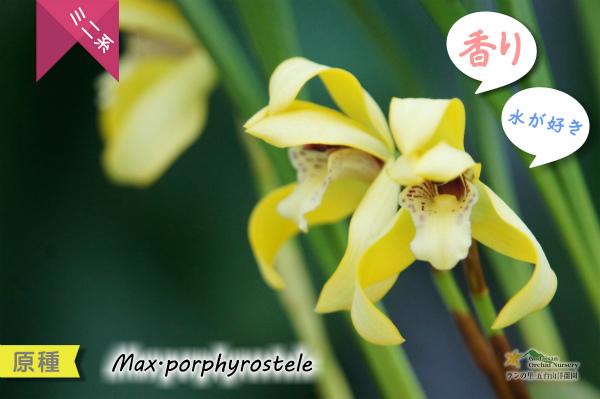 【育てやすく香りを楽しむラン♪】Max porphyrostele (原種)マキシラリア ポルフィロステレ 販売 価格 苗